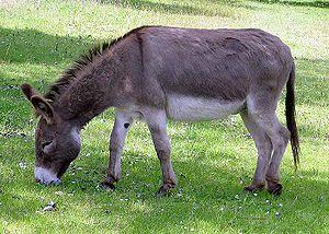 1300px-donkey_1_arp_750px